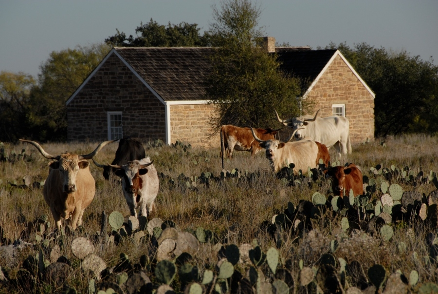 TX State Longhorn Herd (Fort Griffin).