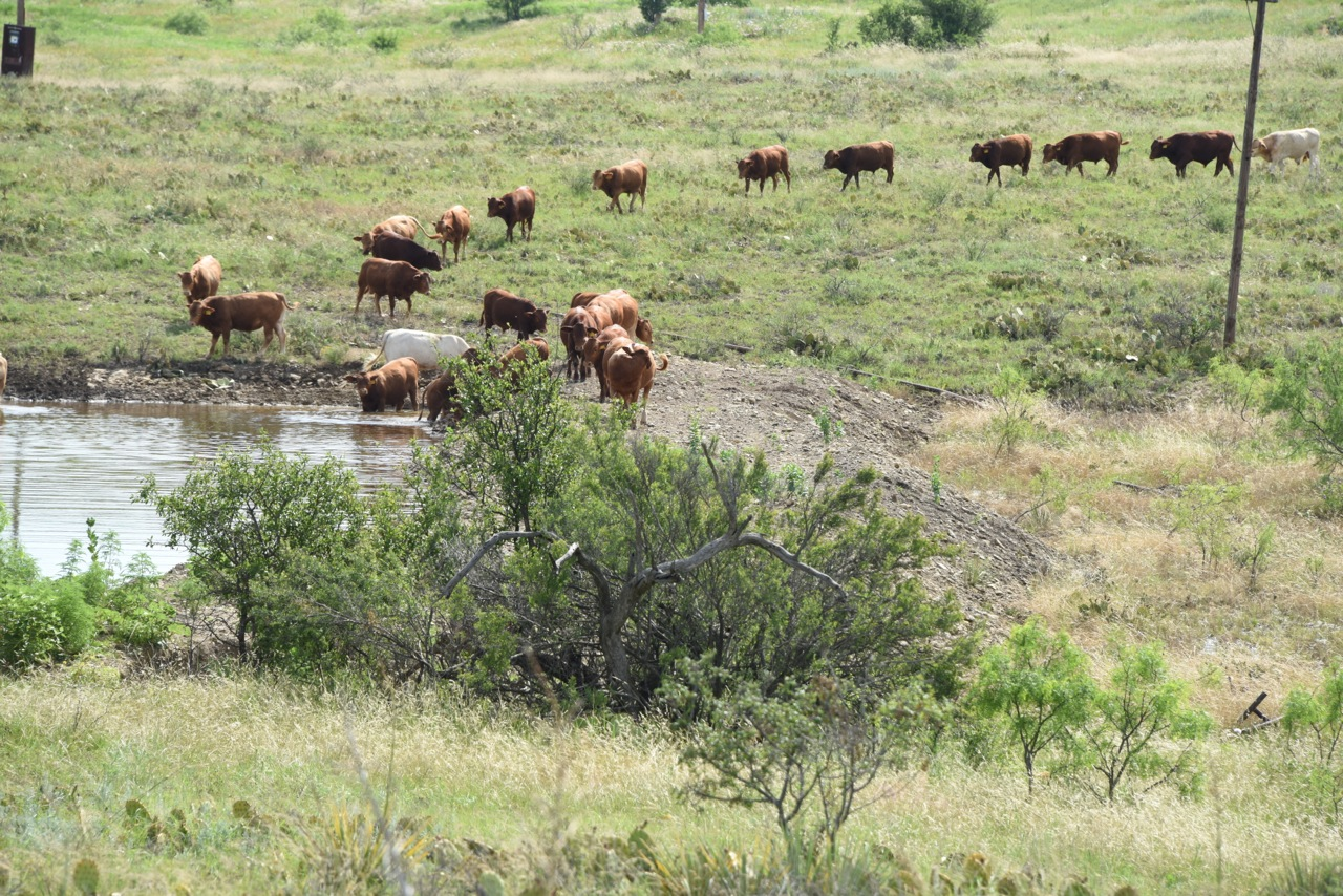 2014 Bulls Headed to Water - Thank God There Is Water This Year!!!!