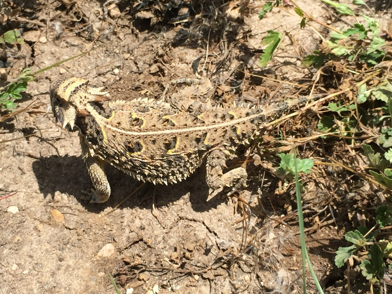 Horned Toad 6-23-15 - We See HT's Regularly!!!