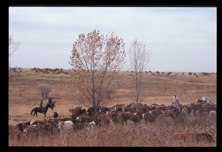 Chico Basin Ranch Roundup, CO.